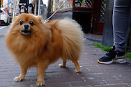 Nederland, Amsterdam, 19 sept 2015<br /> Hondje op straat. De hond is uitermate net gekamd.<br /> <br /> Foto: Michiel Wijnbergh