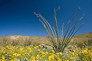 Ocotillo, Cholla and Brittlebush in the Anza-Borrego Desert in springtime, California, USA