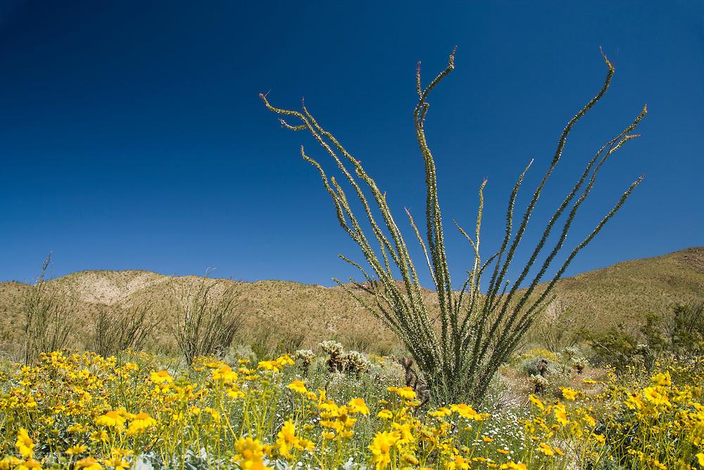 Ocotillo, Cholla and Brittlebush in the Anza-Borrego Desert in springtime, California, USA