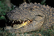 Nile crocodile, Crocodylus niloticus (c) <br /> basking with mouth open,<br /> South Africa