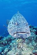 potato cod grouper, Epinephelus tukula, The Cod Hole,  Ribbon Reefs, Great Barrier Reef, Australia ( Coral Sea / Pacific Ocean )