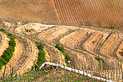 The graphic curved terraces in the Chapelle vineyard. The Hermitage vineyards on the hill behind the city Tain-l'Hermitage, on the steep sloping hill, stone terraced. Sometimes spelled Ermitage. Tain l'Hermitage, Drome, Drôme, France, Europe