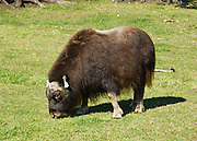 The Musk Ox Farm near Palmer makes a worthwhile visit at Glenn Highway milepost 50, in Alaska, USA. A musk ox (ovibos moschatus), is not an ox, and has no musk glands. Instead, it is a relative of sheep and goats. 3000 musk ox live in Alaska and 100,000 more live worldwide in the far north. Due to their habit of huddling together in a circle (with calves in the center) when threatened, they nearly went extinct after the invention of guns.
