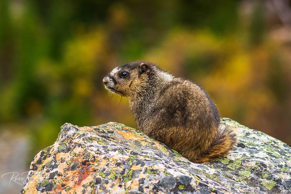 Hoary Marmot (Marmota caligata). Jasper National Park, Alberta Canada