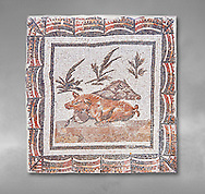 3rd century Roman mosaic panel of a boar and a sow lying down. From Thysdrus (El Jem), Tunisia.  The Bardo Museum, Tunis, Tunisia.  Grey background .<br /> <br /> If you prefer to buy from our ALAMY PHOTO LIBRARY  Collection visit : https://www.alamy.com/portfolio/paul-williams-funkystock/roman-mosaic.html - Type -   Bardo    - into the LOWER SEARCH WITHIN GALLERY box. Refine search by adding background colour, place, museum etc<br /> <br /> Visit our ROMAN MOSAIC PHOTO COLLECTIONS for more photos to download  as wall art prints https://funkystock.photoshelter.com/gallery-collection/Roman-Mosaics-Art-Pictures-Images/C0000LcfNel7FpLI