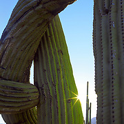 Giant Saguaro cacti in Saguaro National Park, AZ.