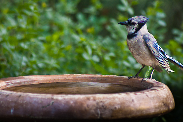 """Blue Jay (Cyanocitta cristata) A 12"""" bird.  Crested; black collar and necklace; wings and tail spotted with white; blue above and grayish below.   This Blue Jay is enjoying a bird bath in the suburbs, Colorado."""