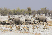 African Elephant <br /> Loxodonta africana<br /> At waterhole with springbok in foreground and kudu in background<br /> Etosha National Park, Namibia