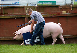 © Licensed to London News Pictures.14/07/15<br /> Harrogate, UK. <br /> <br /> A young boy practices guiding his pig around the arena on the opening day of the Great Yorkshire Show.  <br /> <br /> England's premier agricultural show opened it's gates today for the start of three days of showcasing the best in British farming and the countryside.<br /> <br /> The event, which attracts over 130,000 visitors each year displays the cream of the country's livestock and offers numerous displays and events giving the chance for visitors to see many different countryside activities.<br /> <br /> Photo credit : Ian Forsyth/LNP