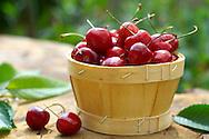 fresh picked cherries
