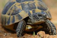 Greek Tortoise or Spur-thighed tortoise, Testudo graeca, Eastern Rhodope mountains, Bulgaria