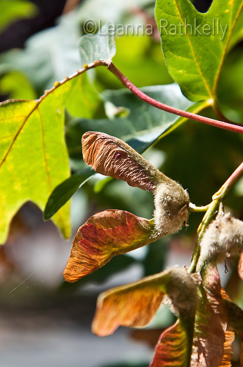 Maple Trees produce a seed that works like a helicopter wing, with two sides and a heavier middle to rotate down to the ground
