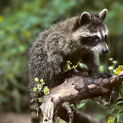 Raccoon, (Procyon lotor) Young raccoon climbing onto narled broken branch of tree limb.   Captive Animal.