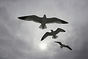 Three seagulls in flight in front of a hazy, gray, sunny sky