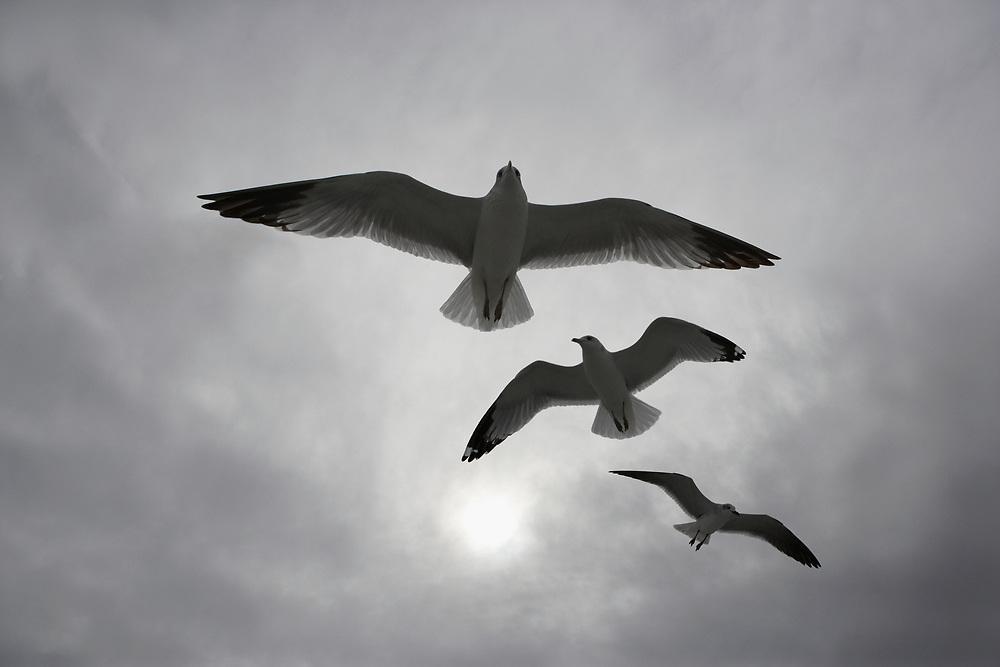 Three seagulls in flight in front of a hazy, gray, sunny sky