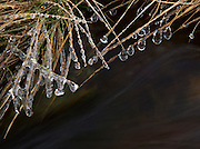 Ice droplets form on grasses overhanging a moorland stream below Stanage Edge, Peak District