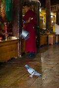Young Buddhist monk distracted by a pigeon during a morning ceremony (puja) at Thiksey Monastery, Ladakh, India