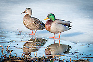 A mallard pair sitting on the ice at Salt Pond in Eastham.  Note the band on the male's leg.
