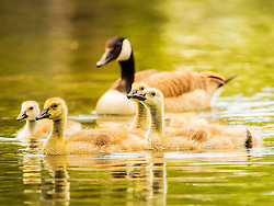 A family of geese with mother goose in the background being led by the goslings swim through warm green waters
