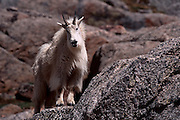USA, Colorado, Mt. Evans, Mountain Goat (Oreamnus americanus)