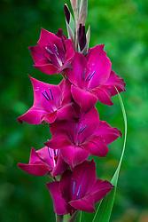 Gladiolus 'Black Star'