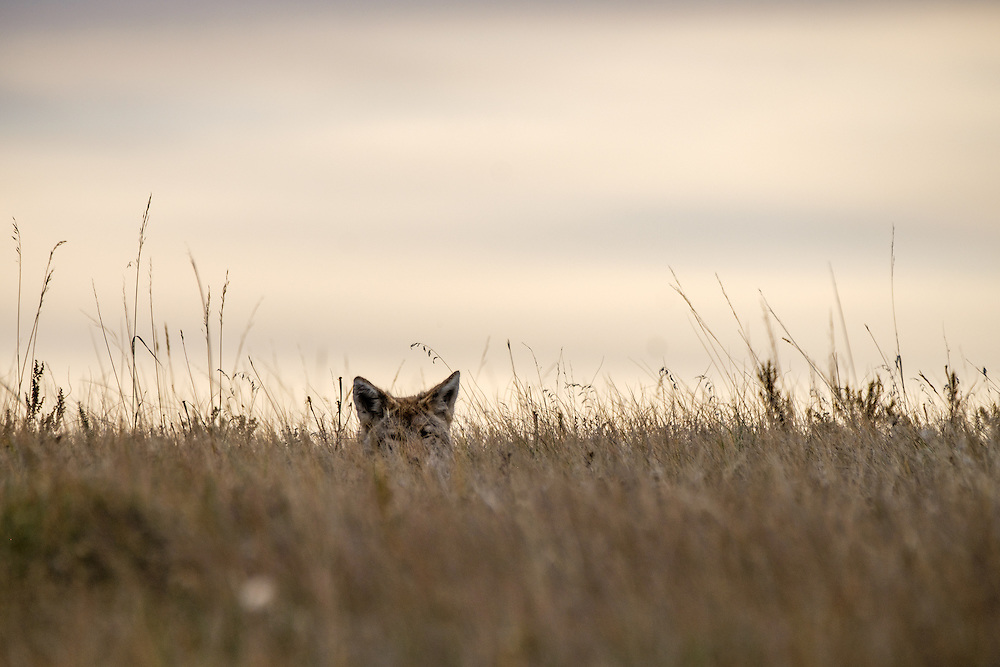 Where there are prairie dogs, there are often coyotes, who relish the prairie dogs as a somewhat easy catch for a meal (the prairie dogs are not terribly smart).