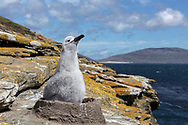 Black-browed Albatross - Thalassarche melanophrys - 3 week old chick on nest