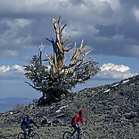 MOUNTAIN BIKING, Cyclists pass ancient Bristlecone Pine, White Mt. Road, Inyo Nat. Forest, CA .  (MR)