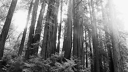 Trees in a forest in Northern California