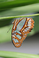 Butterfly, Malachite, Siproeta Stelenes, Resting On The Underside Of A Leaf