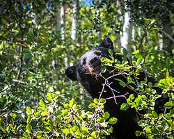 A black bear happily munching hawthorn berries of a thorny bush in Grand Teton National Park