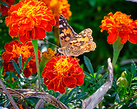 Painted Lady butterfly feeding on Marigold flowers. Image taken with a Fuji X-T3 camera and 200 mm f/2 lens