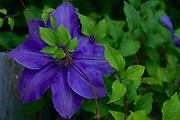 Floral arrangements, Clematis