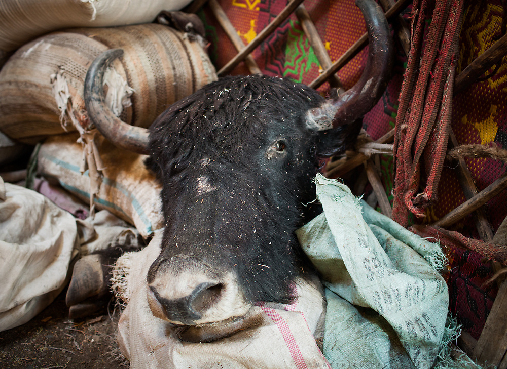A yak head inside Mullah Bachik's house. The animal died of an unknown sickness. When a yak dies or is killed in summer, it is eaten quickly so the meat doesn't perish. Andemin camp. <br /> <br /> From Ech Keli to Kyzyl Qorum.<br /> Trekking with yak caravan through the Little Pamir where the Afghan Kyrgyz community live all year, on the borders of China, Tajikistan and Pakistan.