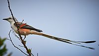Scissor-tailed Flycatcher (Tyrannus forficatus). Campos Viejos, Texas. Image taken with a Nikon D4 camera and 600 mm f/4 VR lens
