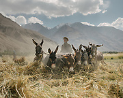 Man threshing wheat with his donkeys. The traditional life of the Wakhi people, in the Wakhan corridor, amongst the Pamir mountains.