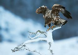 White-tailed Eagle (Haeliaeetus albicilla) in Flatanger, Norway