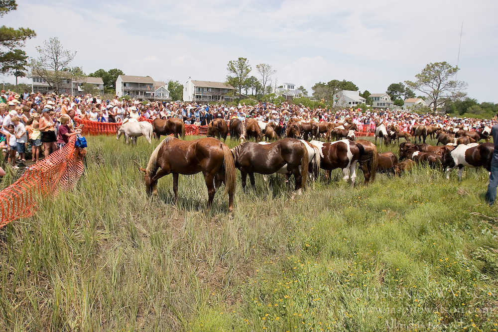 The 82nd Annual Pony Swim from Assateague .Island across the Assateague Channel.to Chincoteague Island was held on July 25, 2007.  Approximately 150 horses made the swim - from two herds (the northern herd in Maryland and the southern herd in Virginia).
