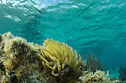 Giant Anemone (Condylactis gigantea)<br /> Lighthouse Reef Atoll<br /> Belize<br /> Central America