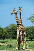 Giraffe (Giraffa camelopardalis)<br /> Marataba, A section of the Marakele National Park<br /> Limpopo Province<br /> SOUTH AFRICA<br /> RANGE: Savanna regions in scattered isolated pockets of Sub-Saharan Africa.