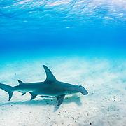 Great hammerhead shark (Sphyrna mokarran) swimming over a sandy seabed, Bimini, Bahamas