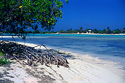 Mangrove plant growing in sandy beach by blue sea of tropical lagoon, Owen Island, Little Cayman, Cayman Islands,