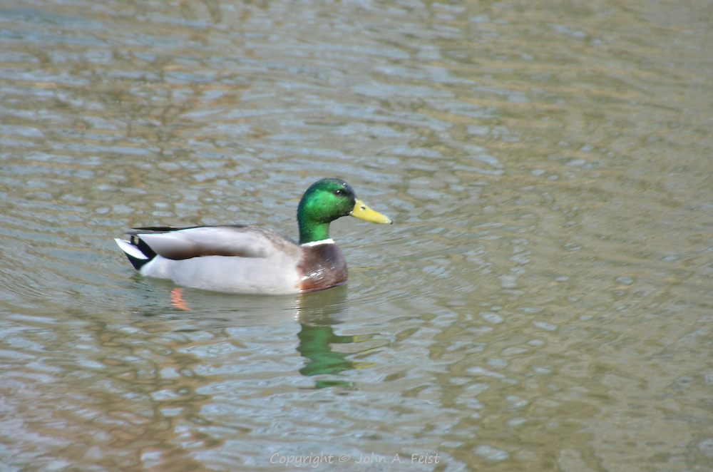 A duck.drake enjoying a swim on the D and R Canal in Hillsborough on a fine spring day.