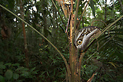 Forest Giant Owl Butterfly, Caligo eurilochus, resting on bark of tree in forest, Iquitos, Peru, Amazon jungle, wide angle, eye spots. .South America....