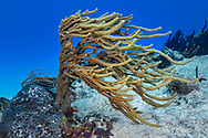 Giant slit pore sea rod - Gorgone arborescente (Plexaurella nutans), Cozumel, Yucatan peninsula, Mexico.