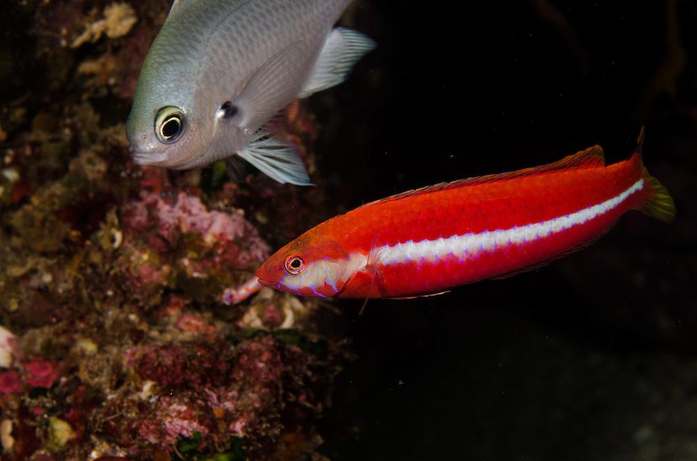 Crimson cleaner fish, Suezichthys aylingi