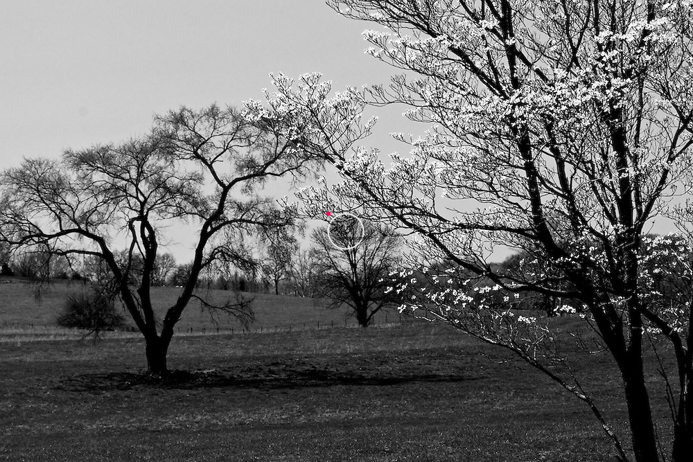Spring dogwood tree. Mitchell Indiana. A stately tree along hiway 37, framed by a dogwood tree in bloom.