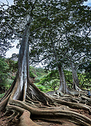 """On the island of Kauai, these Moreton Bay Fig trees in Allerton Garden were filmed in the movie """"Jurassic Park"""" (1993) in a scene where a nest of hatched eggs is discovered by Dr. Grant, who says: """"Oh God. Know what this is? It's a dinosaur egg. The dinosaurs are breeding... Life found a way."""" Address: 4425 Lawai Rd, Koloa, HI 96756. Nestled in a valley transected by the Lawai Stream flowing into in Lawai Bay, Allerton Garden is one of five gardens of the non-profit National Tropical Botanical Garden (ntbg.org, in Hawaii and Florida, USA). This image was stitched from multiple overlapping images."""