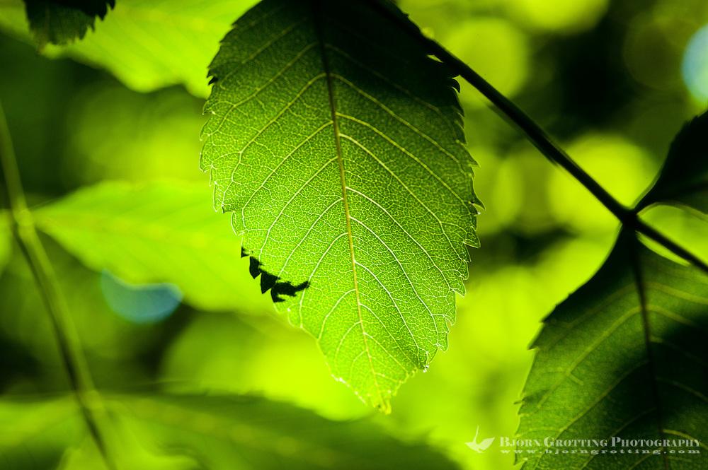 Norway, Stavanger. Tree leafs.