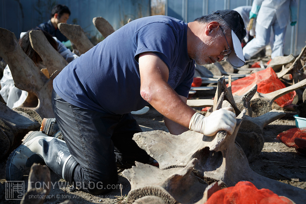 Examining and cleaning the large vertebrae comprising the forward portion of the spinal column of an exhumed fin whale (Balaenoptera physalus)